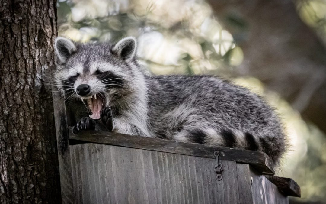 There's a Raccoon in the Attic!