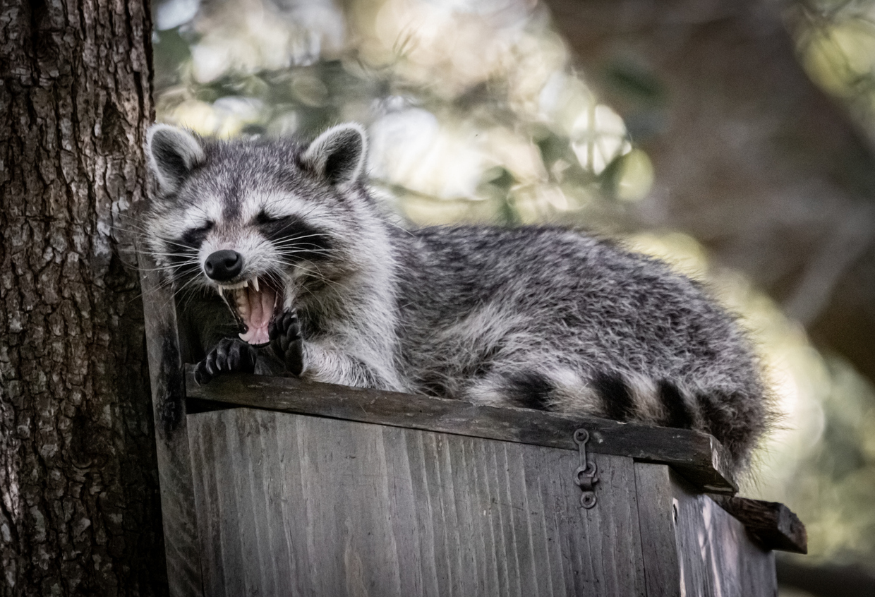 Raccoon Removal: Four Steps to Defeating Furry Hulks