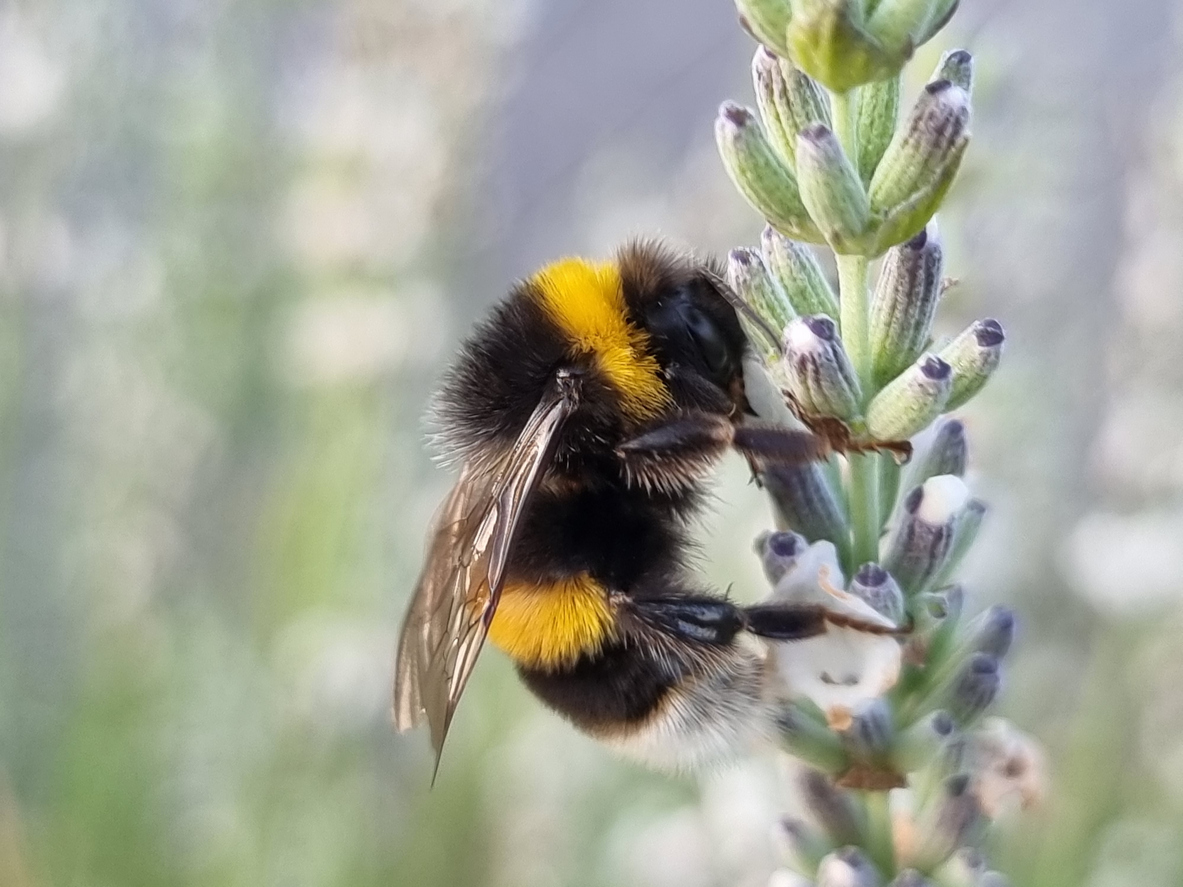What Is a Bumblebee?