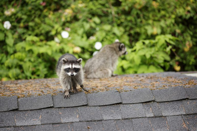 Animal Control: What's in the Attic?