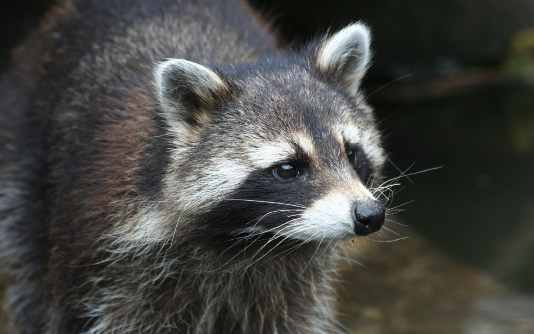 Raccoons Are A Nuisance In Other Countries Too