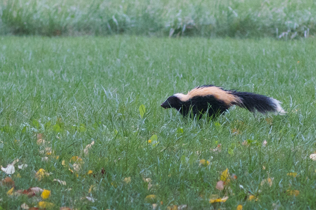 skunk removal: getting rid of skunk odor