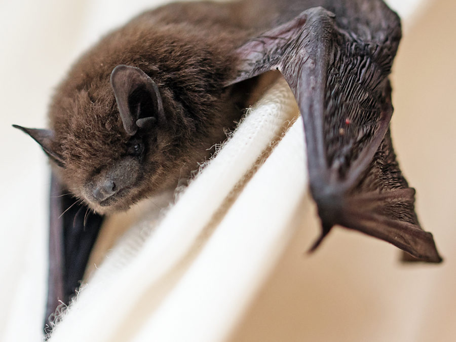 Bat Infestations and Rabies: What To Do